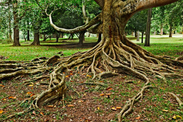 exposed-tree-roots